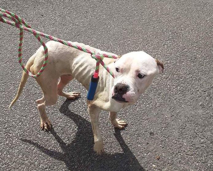 Drie Amerikaanse bulldogs in Oldebroek werden sterk vermagerd aangetroffen in Oldebroek.
