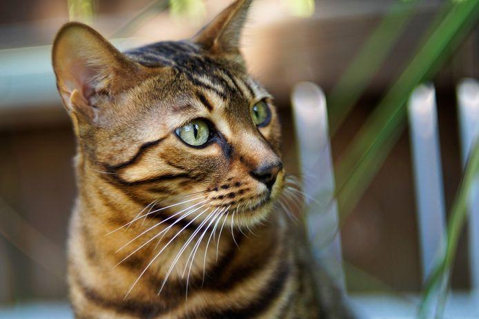 Meierijstad gaat eigenaren van katten niet verplichten om deze dieren aan te lijnen. Volgens de gemeenteraad is dat niet te handhaven.