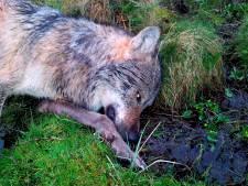 Duitse jagers doden 'probleemwolf' niet ver van Nederlandse grens
