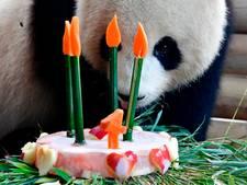 Taartenbakwedstrijd voor de reuzenpanda's
