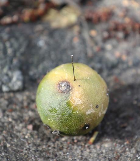 Vruchten met spijkers en naalden gevonden