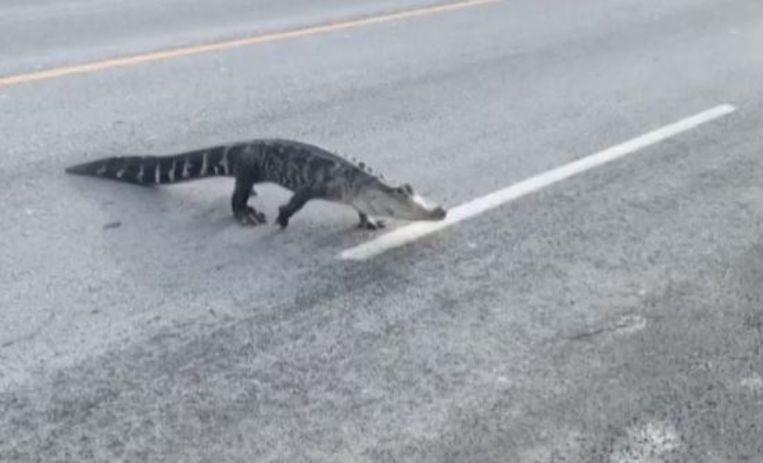 De alligator stak in de Canadese stad Montreal de straat over.