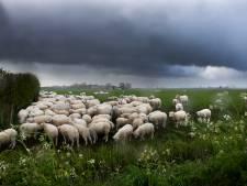 Slagregens en storm: schapen schuilen samen