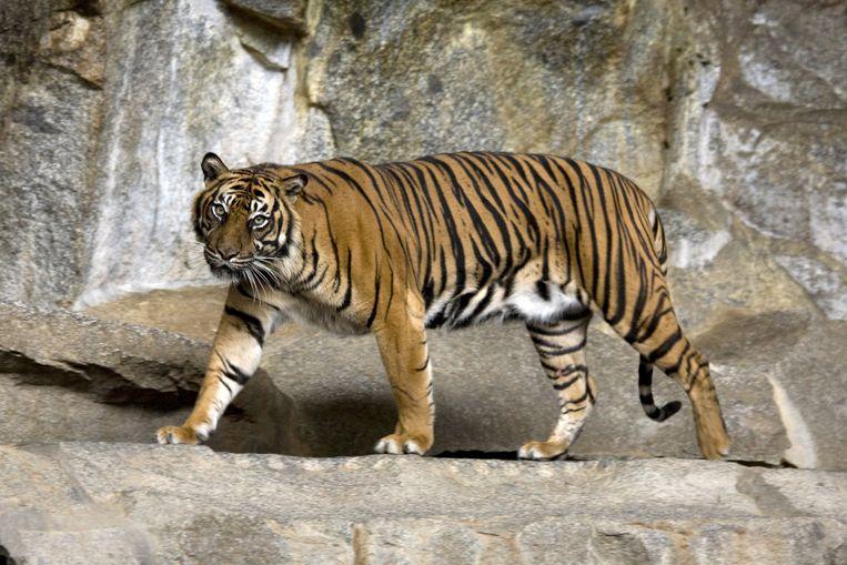 Sumatraanse tijger, illustratiefoto.