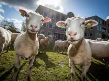 Deze schapen tussen woningen en naast winkelcentra blijven vast beeld in Zutphen: 'Wat een enthousiasme'