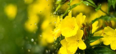 De bloem die spectaculair mooi open klapt als de avond valt