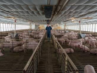 Ruim kwart varkensboeren wil stoppen (maar kan dat niet door schulden)