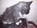 Kat die zijn eigen vacht niet goed schoon kan houden en genoodzaakt is om naar een trimsalon te gaan zodat hij gezond blijft. Ze ontving deze dieren voor de lockdown.