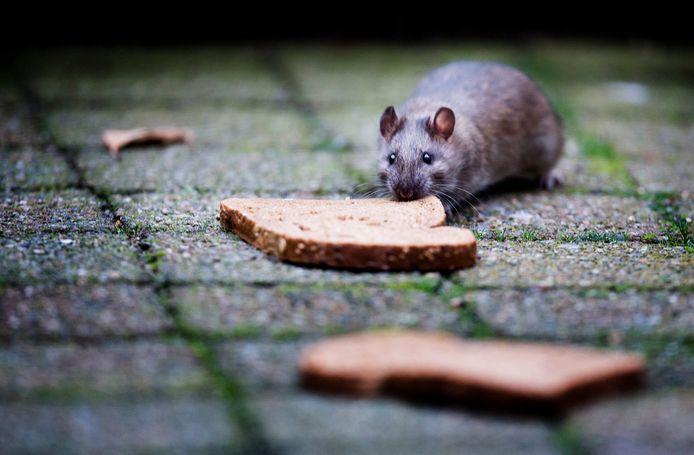 Foto ter illustratie (niet in Gorinchem). Ratten zijn gek op brood.