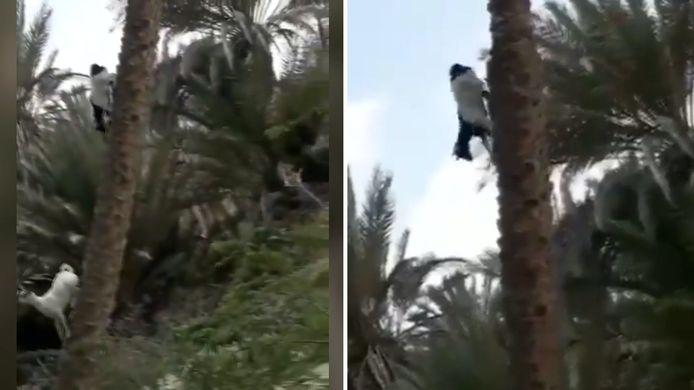 Geit kent geen zwaartekracht en klimt loodrecht in een boom