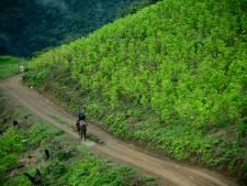 Cocateelt in Colombia naar recordhoogte