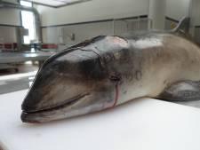 Aangespoelde bruinvis in Elburg had gebroken wervels en zat vol parasieten