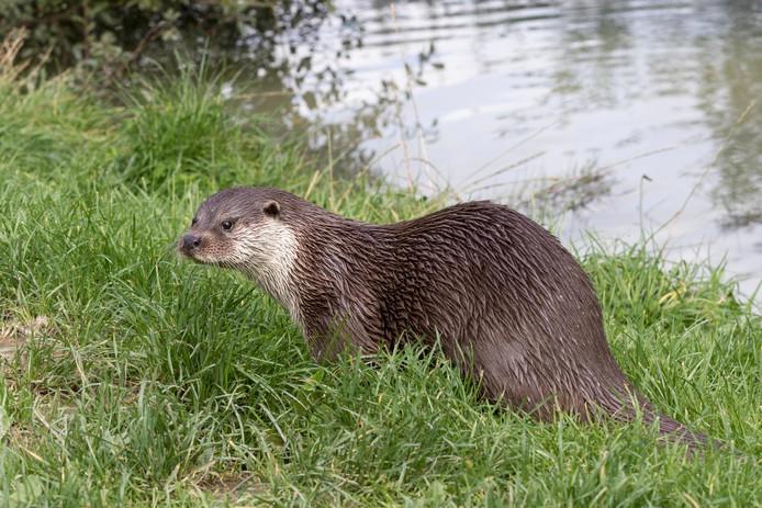 De otter rukt op in Flevoland. Alleen ten westen van Almere en Zeewolde zijn nog nooit sporen van de otter aangetroffen.