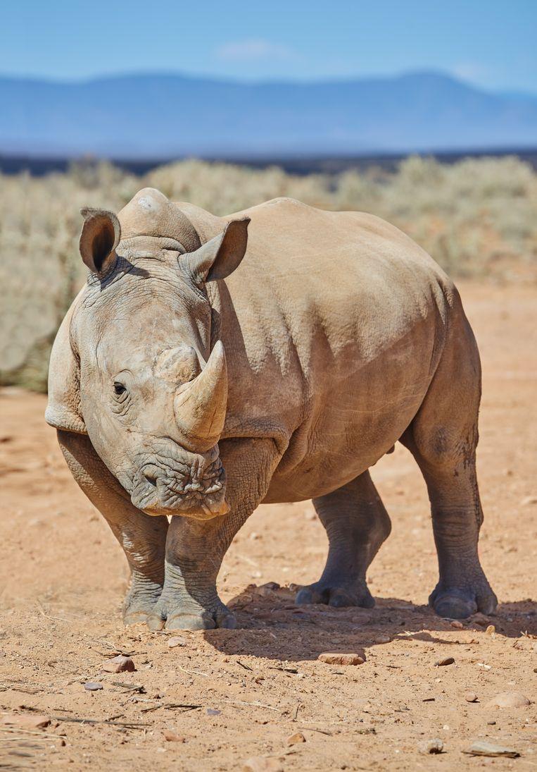 Een niet-behandelde witte neushoorn, Zuid-Afrika. Beeld Getty Images