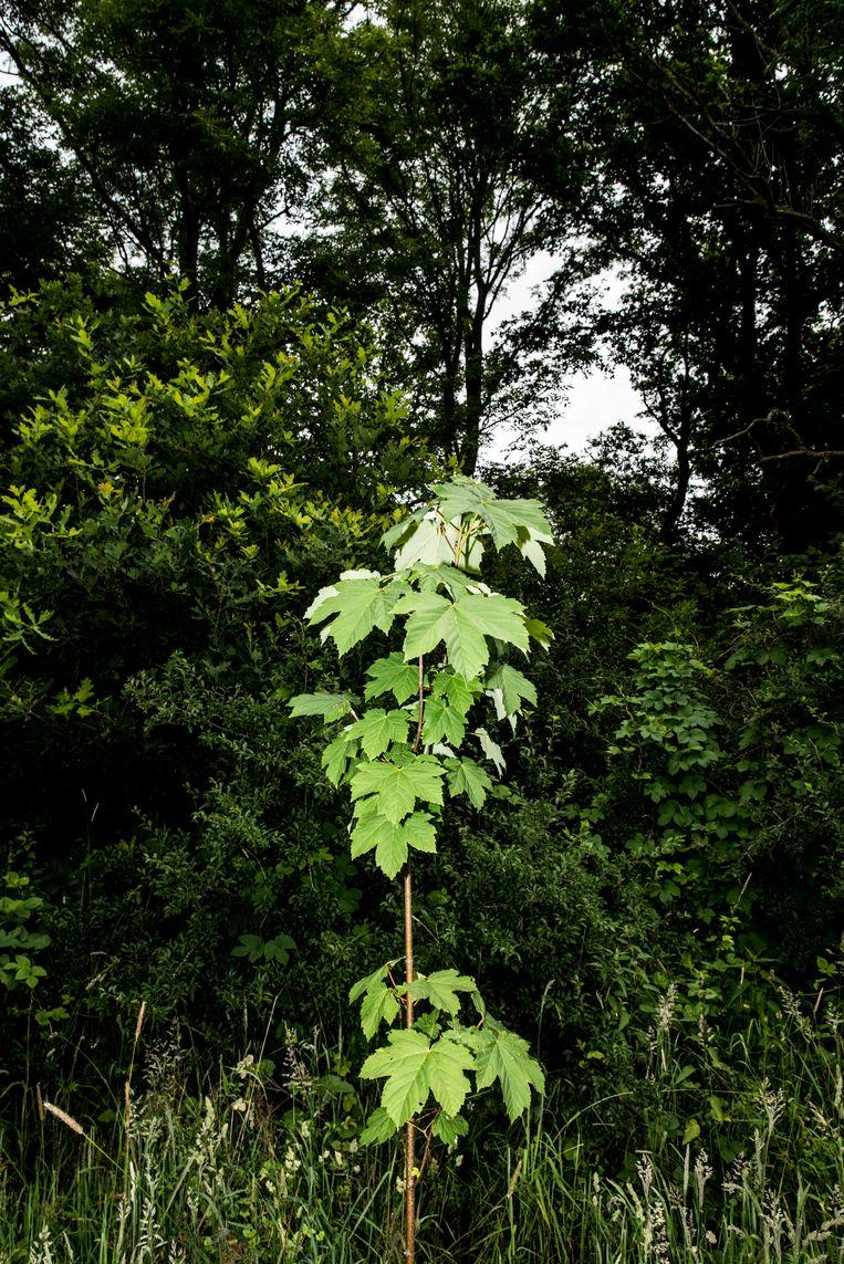 Een van de aangeplante esdoorns die volgens Maes niets in het bos te zoeken hebben en schadelijk zijn.  Beeld Jan Mulders