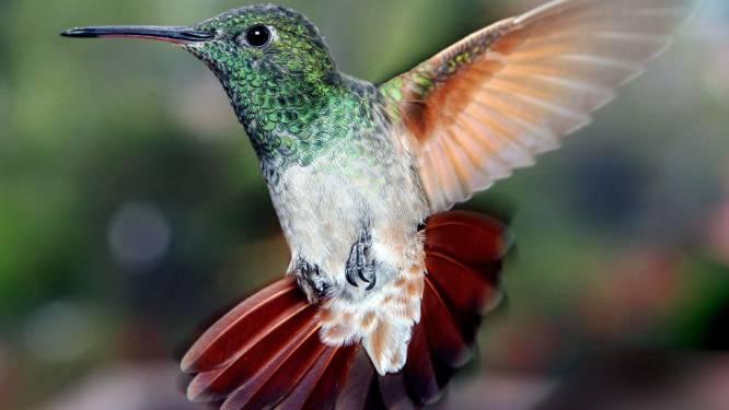 Slimme dieren: kolibrievrouwtjes verkleden zich als mannetje om niet te worden lastiggevallen