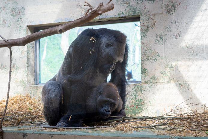 Gorillabaas Bao Bao, net vader geworden, gaat bij Apenheul in op de avances van een van zijn vrouwen.