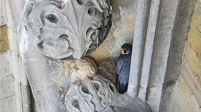 Een beeld van een van de slechtvalken gemaakt door de webcam op de Sint-Romboutstoren.