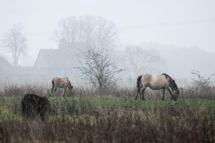 Konikpaarden grazen het hele jaar rond in de Loowaard bij Duiven. In de grond zitten relatief veel dioxines.