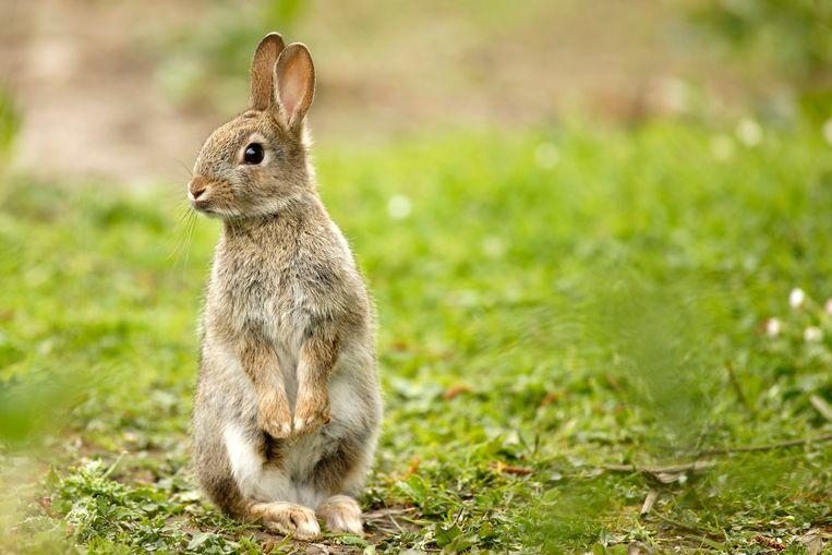 Bij vogels en kleine zoogdieren zijn hitte-afvoerende aanhangsels als oren, snavels en vleugels de laatste decennia meetbaar groter geworden. Dat geldt ook voor konijnen. Beeld Getty