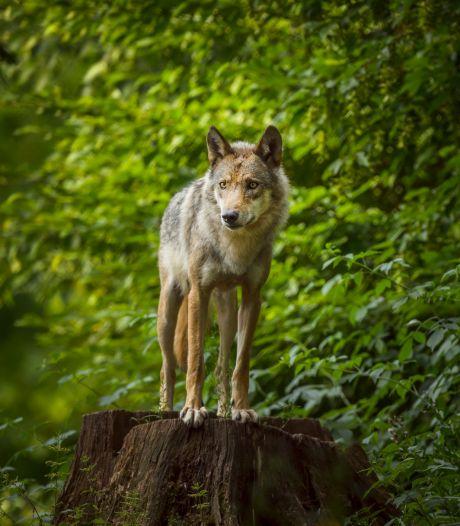 Wolf slaat weer toe in gemeente Someren
