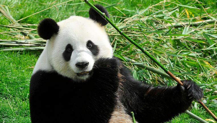 Hao Hao, een van de panda's in Pairi Daiza.