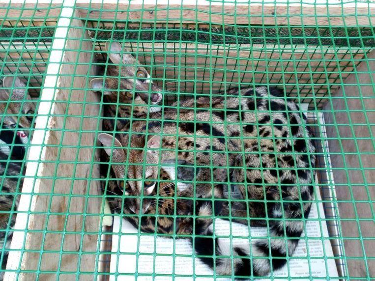 Civetkatten die gevonden werden in kratten en containers voor vervoer met Ethiopian Airlines. Beeld World Animal Protection
