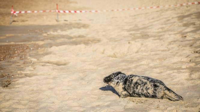 Steeds meer zeehonden aan de kust