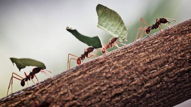 Verrassend: dit insect kan haar hersenen krimpen en laten groeien om de 'baas' te worden