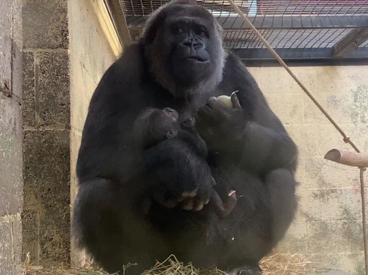 Voor het eerst in acht jaar weer gorillababy in de Apenheul