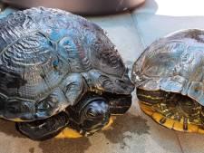 Tientallen gedumpte schildpadden gered uit drooggevallen Achterhoekse wateren