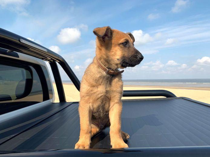 De schattige puppy Marco, een zeven weken oude Mechelse herder, is de nieuwe patrouille- en drugshond van de politie Westkust.