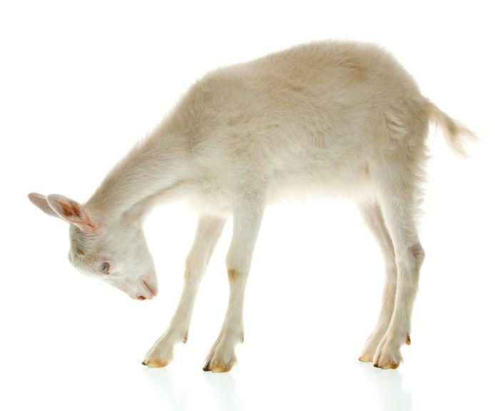 Het draait in Rossum en Hurwenen al jaren om geiten.