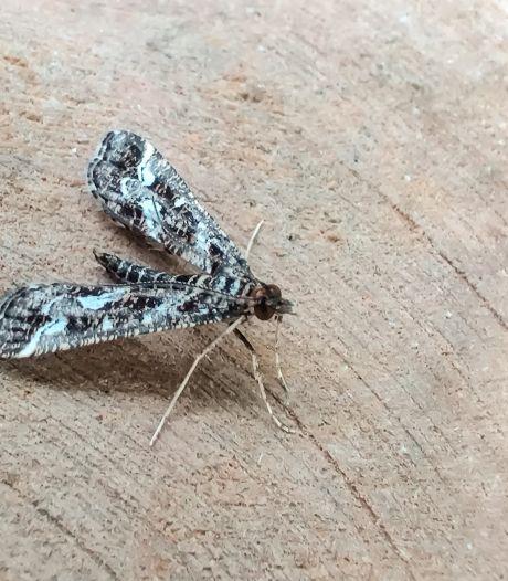 Een klein, maar héél bijzonder nachtvlindertje is ontdekt in de Clingse bossen