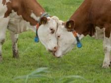 Haaksbergse boer verwaarloost dieren: aanklager wil bedrijf voor een half jaar sluiten