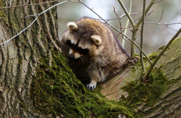 Slechts een heel enkele keer laat de wasbeer in een boom in Vught zich eventjes zien.