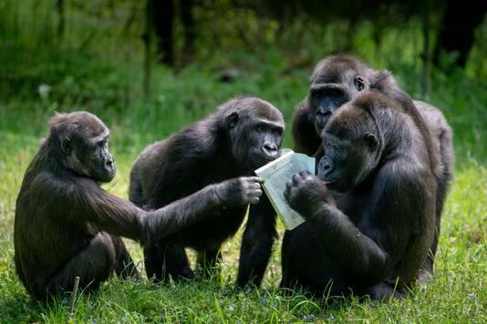 Op dinsdag overhandigt Constanze Mager, auteur van het boek 'Stoor nooit een vlooiende aap', de eerste exemplaren aan de gorilla's van het Arnhemse dierenpark.