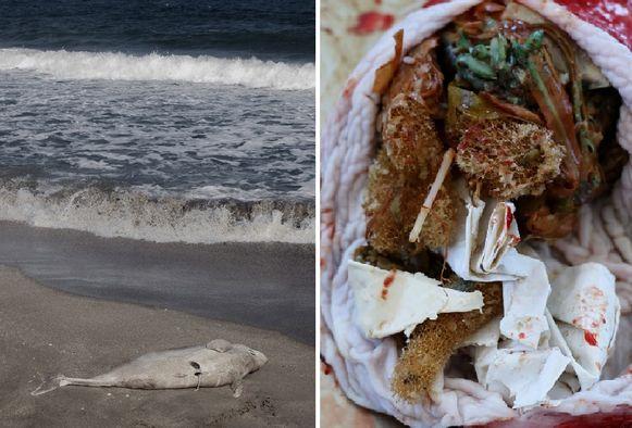 Beeld ter illustratie van gestrande dolfijn (links). Resten van plastic in de maag van het aangespoelde dier (rechts).