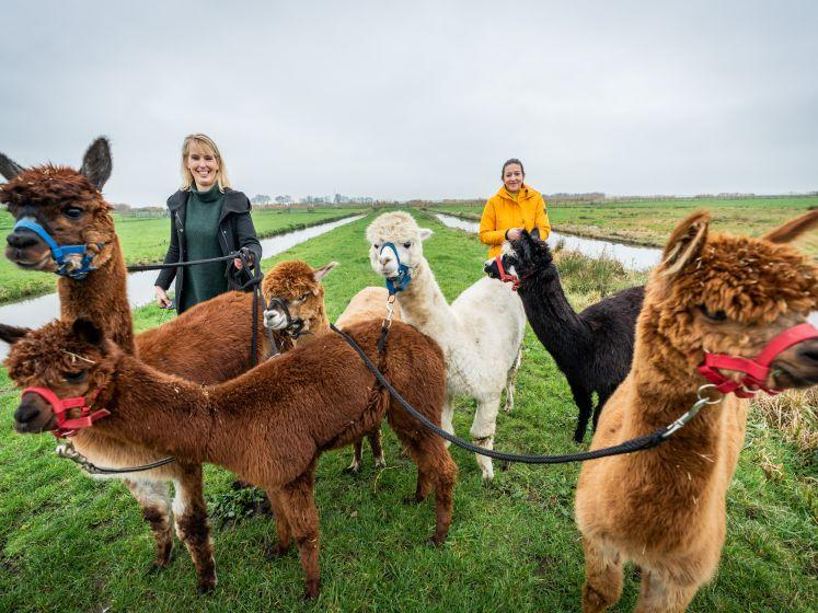 Marileen (22) heeft een bijzondere hobby: ze wandelt dolgraag met alpaca's