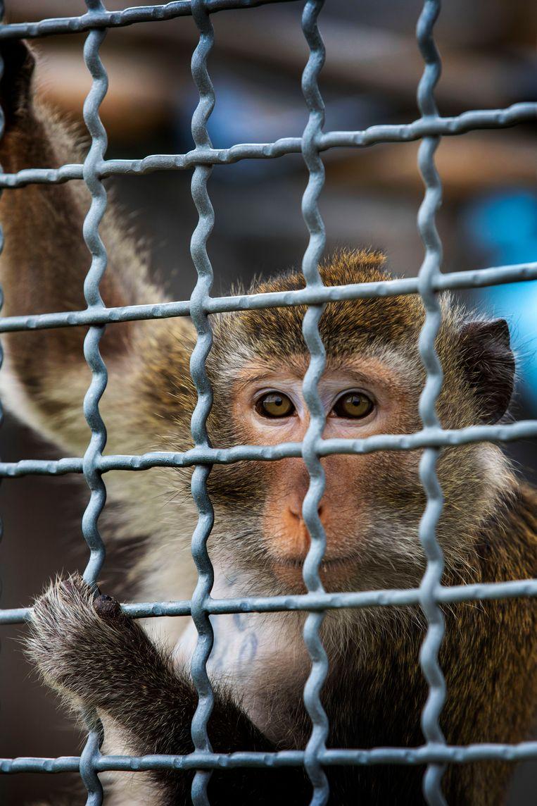 Bij het testcentrum in Rijswijk worden voor vaccinonderzoek honderden apen geïnfecteerd met Covid-19. Beeld Werry Crone