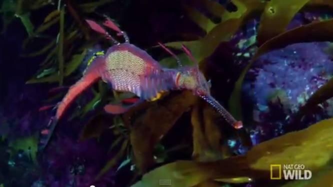Deze wonderlijke vissen in de Tasmanzee heb je nog nooit gezien
