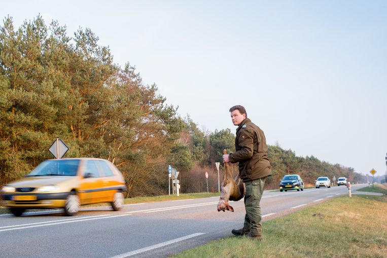 Boswachter Ger Verwoerd ruimt een aangereden stuk vee op de Veluwe op.  Beeld Saskia Lelieveld