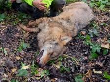 Niet 5, maar 16 duizend euro voor de gouden tip over de doodgeschoten wolf: 'Hoogste tipgeld ooit'