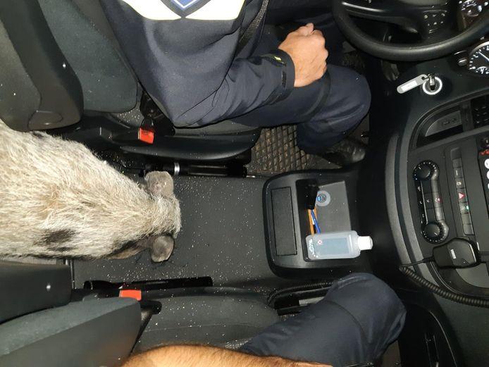 Als 'dank' liet het varken een grote boodschap achter in de politieauto.