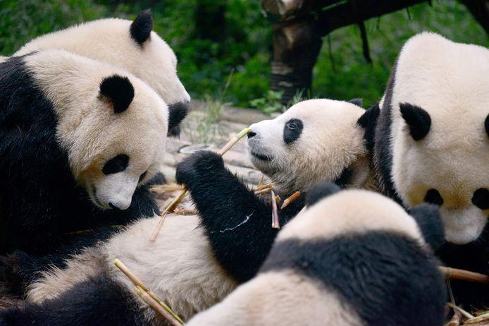 Reuzenpanda's in de Chinese regio Chengdu.
