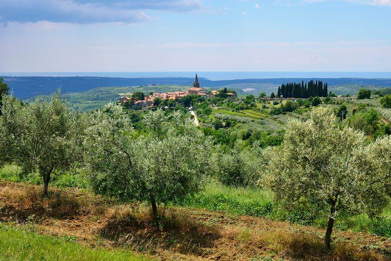 Olijfbomen in Istrië. Sinds 2015 werd het schiereiland vier keer na elkaar tot beste olijfproducent ter wereld verkozen. Beeld BELGAIMAGE