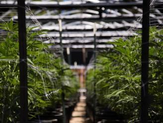 Cannabisplantage met 700 planten opgerold in Veurne