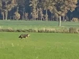"""Man filmt wolf die nietsvermoedend voorbij trippelt in Peer: """"Stilaan een gewoon beeld in Limburg"""""""