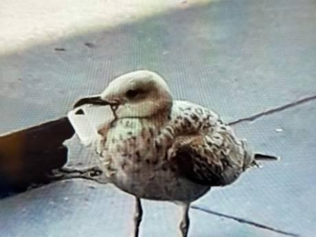 Dierenambulance wanhopig: 'Deze meeuw houdt ons al weken bezig'