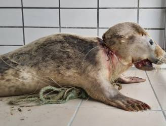 """Verstrikte jonge zeehond gered door Nederlandse dierverzorgers: """"Onzeker of hij het gaat halen"""""""